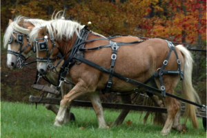 horse harness 1